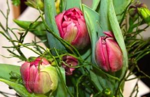 Tulpen-imp