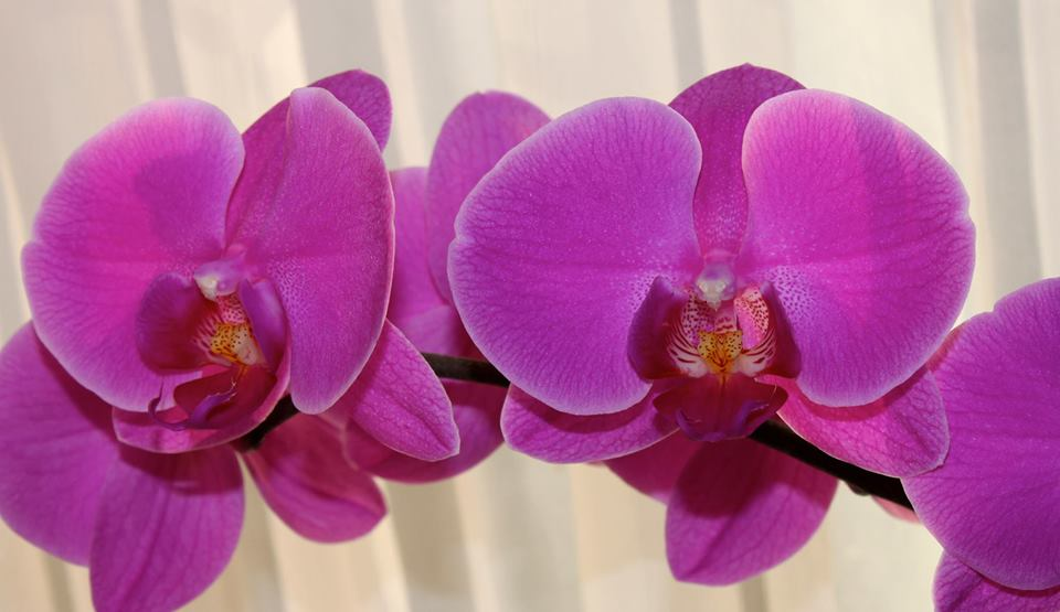 Hashi-Orchidee